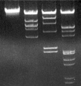 phage-lambda